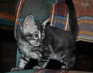 Black Pearl bengal marbled female kitten for sale from our Cattery