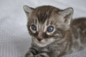 Charcoal Bengal kitten for sale ADMIRAL from Cataristocrat Cattery
