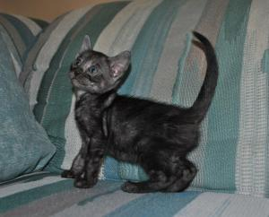 """Black Swan"" bengal Black Silver Melanistic Marbled kitten for sale from our Cattery"
