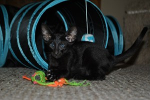 Oriental shorthair kitten for sale Gagarin from Cataristocrat Cattery