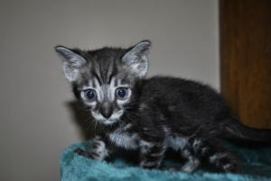 Bengal kittens for sale from our cattery