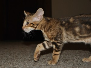 Oriental shorthair kitten for sale Karelia from Cataristocrat Cattery