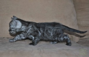 Charcoal Bengal kitten for sale Marfa from Cataristocrat Cattery