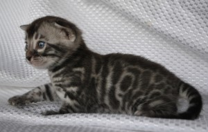 Charcoal Bengal kitten for sale NEVSKY from Cataristocrat Cattery