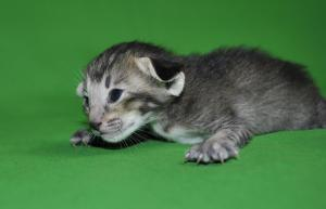 Nelly Oriental shorthair kitten for sale from Cataristocrat Cattery
