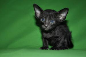Black Oriental shorthair cat for sale from Cataristocrat Cattery