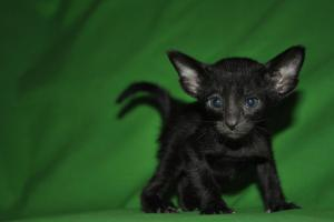 Oriental kittens for adoption from Cataristocrat Cattery