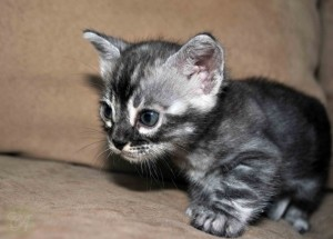 Charcoal Bengal kitten for sale Susanin from Cataristocrat Cattery