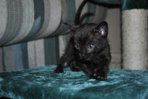 Black Bengal kitten for adoption  from Cataristocrat Cattery
