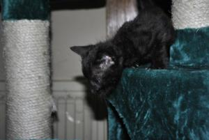 Black Melanistic Bengal kitten for sale  from Cataristocrat Cattery