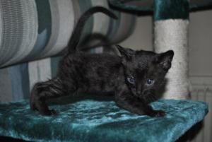 Black Bengal kitten for sale  from Cataristocrat Cattery