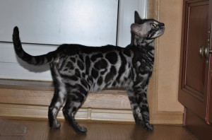 Maleficent is our youngest Bengal cat. She is very bright, whether it be her robe or her temper. Her appearance fits perfectly with the idea of what a Bengal cat should look like.
