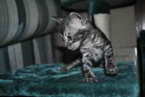 Bengal silver charcoal kittens for adoption from our Cattery