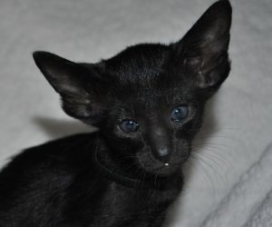 Oriental kitten for sale, Oriental short hair cattery