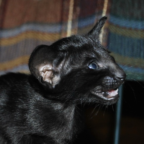 Oriental kitten for sale, Black