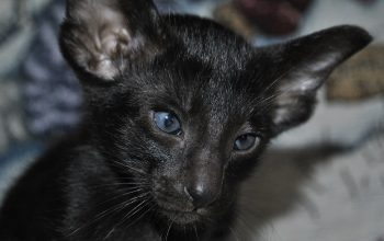 Oriental short hair Cattery, cat for sale
