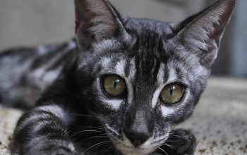 Silver kitten for sale, Bengal cattery Cataristocrat