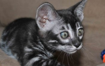 Charcoal kitten for sale, Bengal Cattery