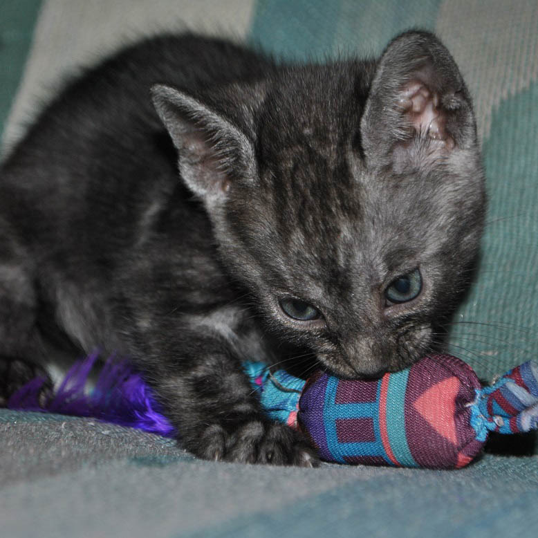 Bengal kitten for sale, Black Silver Melanistic Marbled