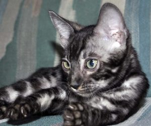 Silver Bengal kitten for sale, Bengal cattery Cataristocrat