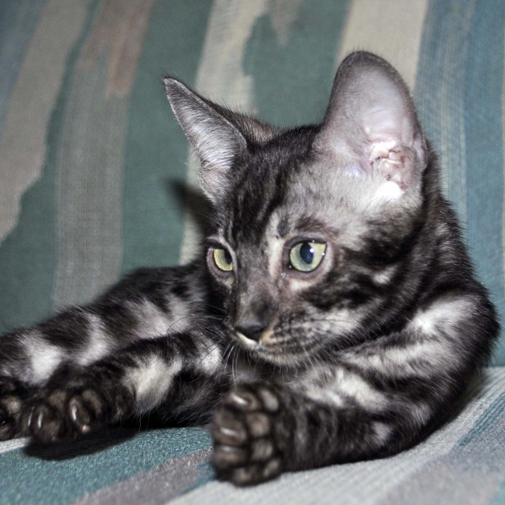 Silver Bengal kittens for sale, Bengal cattery Cataristocrat