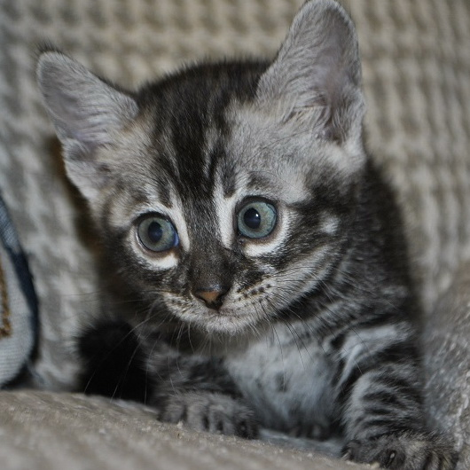 Bliss Silver Spotted Bengal kittens for sale