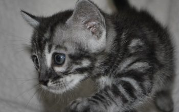 Bengal kittens for sale from Cataristocrat Cattery