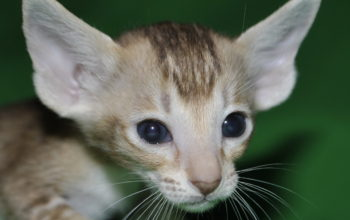 Brown Oriental short-hair kitten for sale from Oriental Cattery