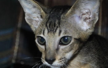 Oriental short-hair cats for sale from Oriental Cattery