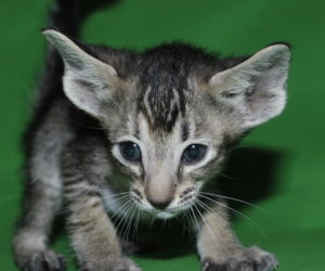 Nelly Oriental shorthair cat for sale from Oriental Cattery