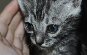 silver Bengal kitten for sale from our Cattery