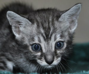 Silver Bengal cat for sale from our Cattery