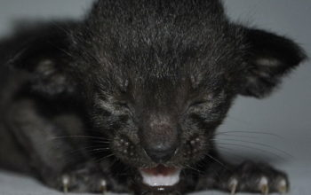 Black oriental cat for sale