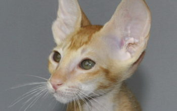 Oriental short-hair kittens for sale from Oriental Cattery