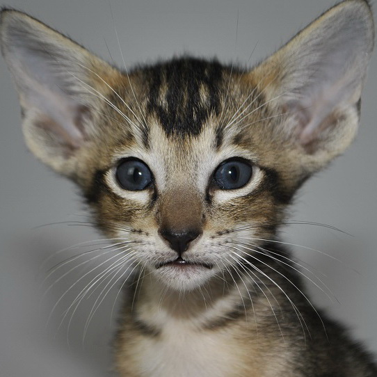 Dark Oriental short-hair kittens for sale from Oriental Cattery