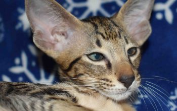 Loomis oriental_kitten for sale