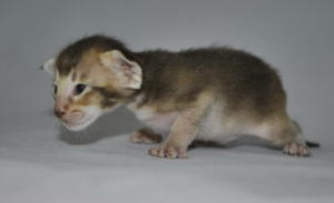 Oriental shorthair cats for adoption from Cataristocrat Cattery