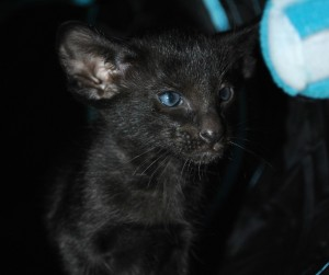 Oriental cat for sale Gagarin from Oriental Cattery