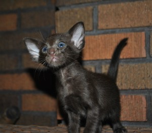 Oriental shorthair kitten for sale Ural from Cataristocrat Cattery