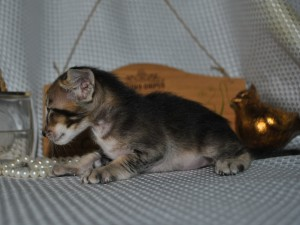 Oriental shorthair kitten for sale Altay black-ticking-male from Cataristocrat Cattery