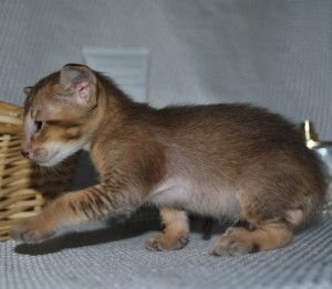Oriental shorthair kitten for sale Baykal chocolate-ticking-male from Cataristocrat Cattery