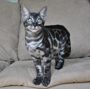 Amazing silver bengal male kitten for sale from our Cattery