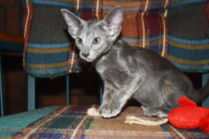 Ahkeemi-oriental-shorthair cat for sale from Cataristocrat Cattery