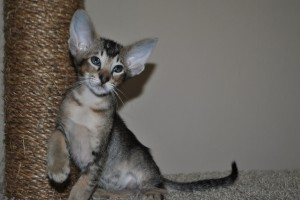 Oriental shorhair kitten for sale Altay black-ticking-male from Cataristocrat Cattery