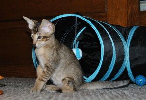 Oriental shorthair kitten for sale Amur black-ticking-male from Cataristocrat Cattery