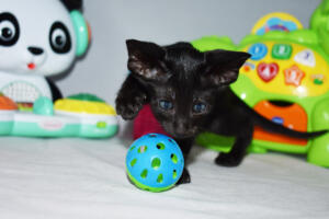 Arabian night 5 weeks (12)-Oriental kitten for sale Cataristocrat