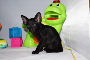 Arabian night 5 weeks (7)-Oriental kitten for sale Cataristocrat