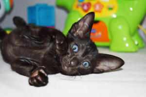 Arabian night 5 weeks (8)-Oriental kitten for sale Cataristocrat