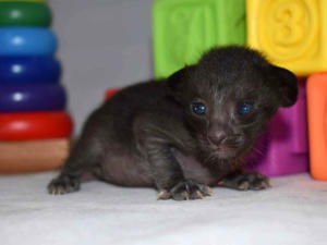 black Oriental kittens for sale from Cataristocrat Cattery