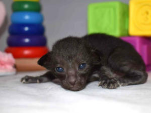 Arabian night Oriental shorthair cats for sale from Cataristocrat Cattery (6)